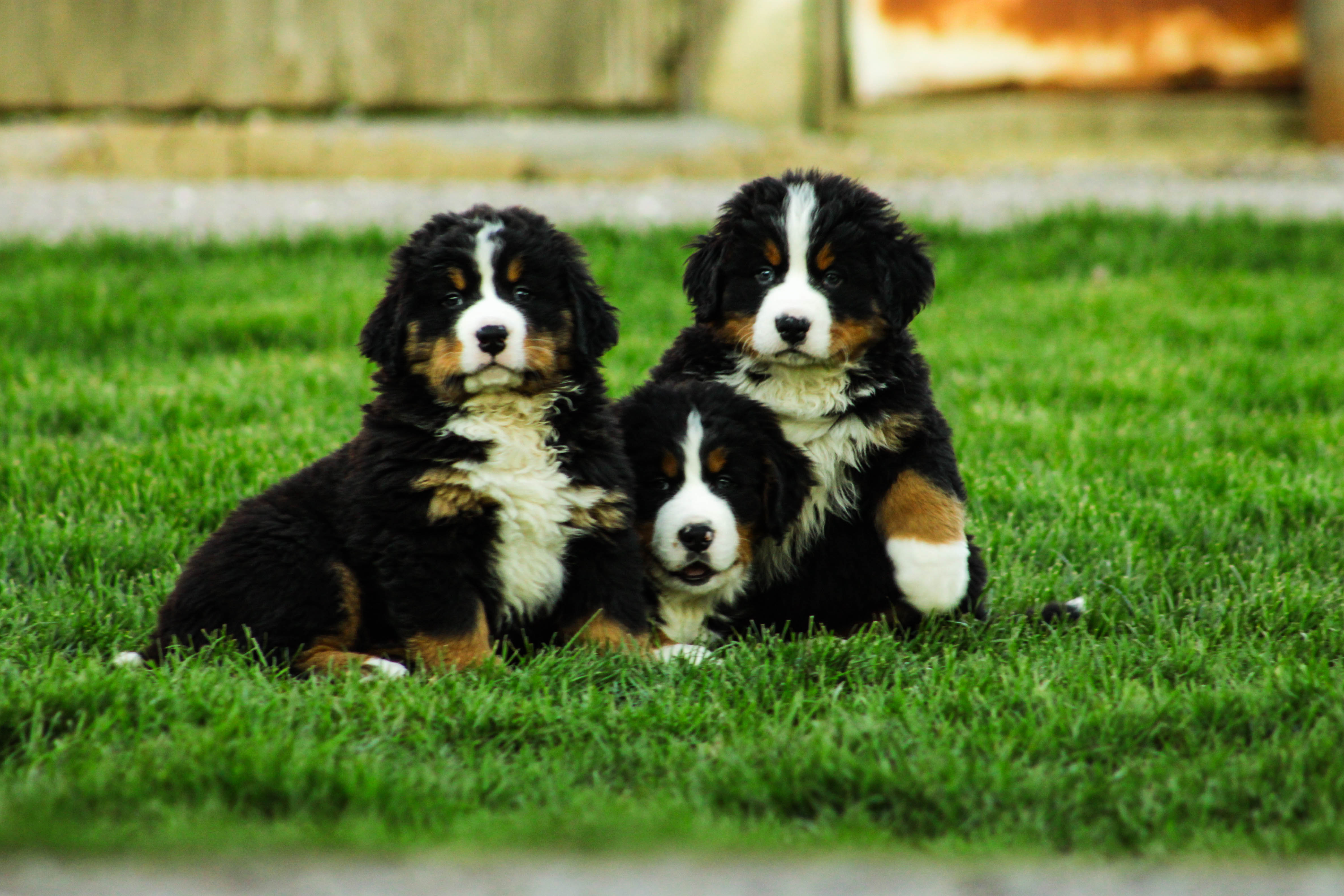 DUTCH MAID BERNESE | Indiana's Exclusive Bernese Mountain Dogs