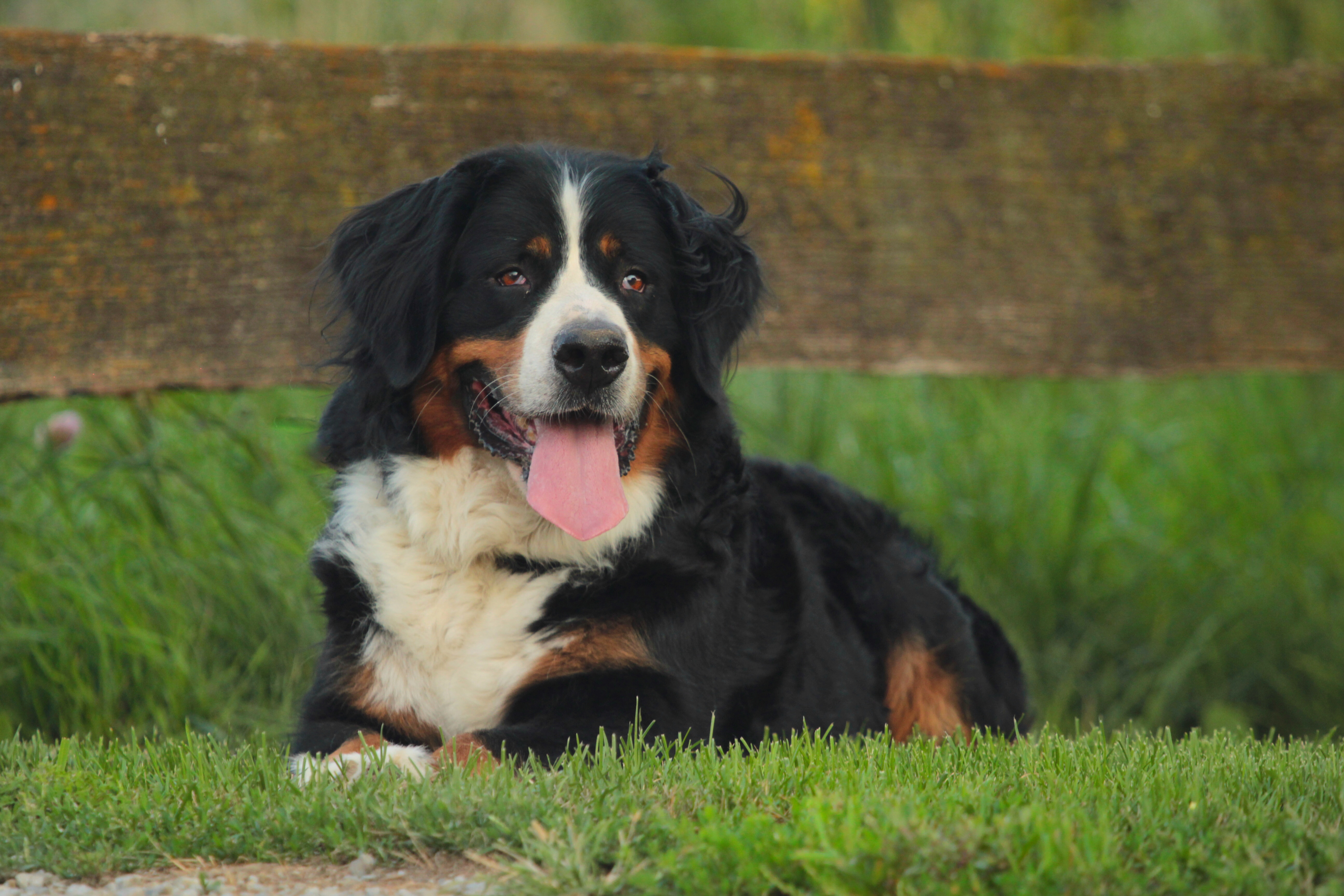 Our Dogs Dutch Maid Bernese